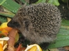 2008_Igel-hat-Hunger